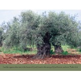 Olive Tree Scripture Greeting Card from Israel